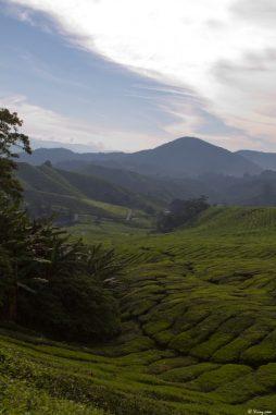 malaisie_cameron_highlands_63