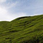 malaisie_cameron_highlands_66