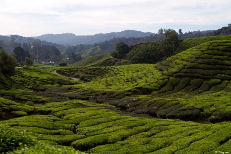 malaisie_cameron_highlands_80