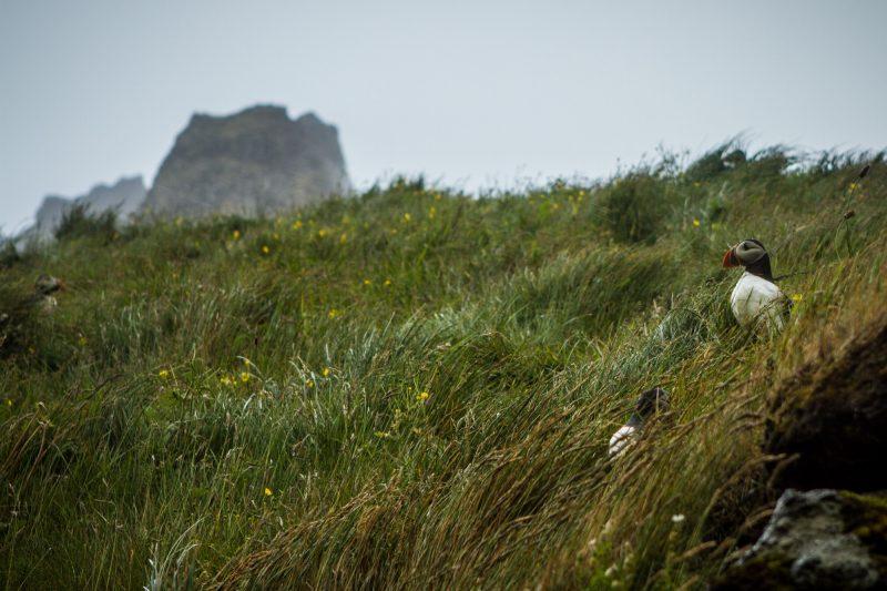 voyage-road-trip-islande-vestmannaeyjar-36